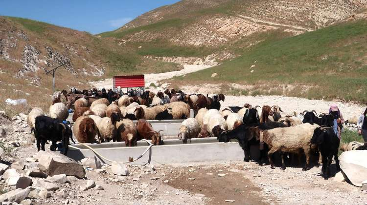 Livestock drinking in Sinjar, Nineveh Governorate, Iraq