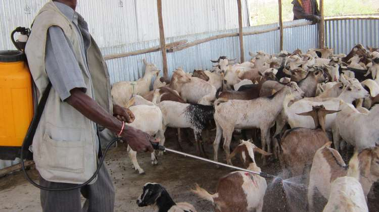 In special Welthungerhilfe courses, herders learn how to look after their livestock. Here, a man is disinfecting goats.