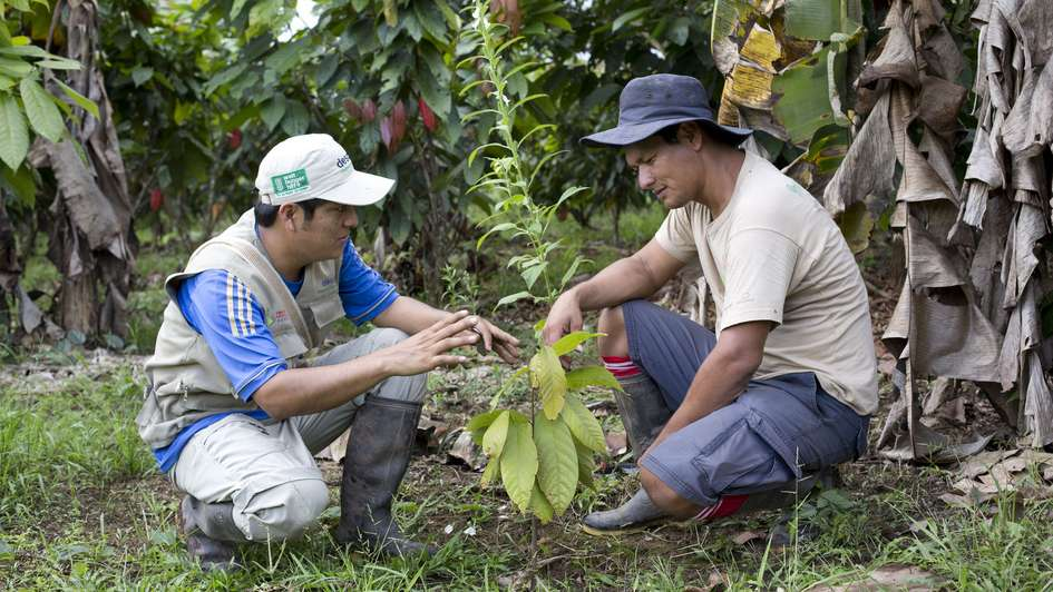 Organic cocoa cultivation in Peru