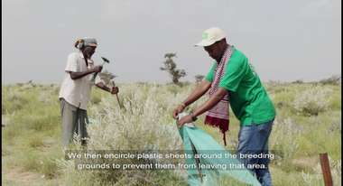 Tarpaulins Instead of Pesticides Against Desert Locusts in Eastern Africa