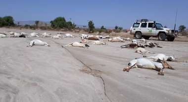 Dead cattle on a road in the Aro Waren region.