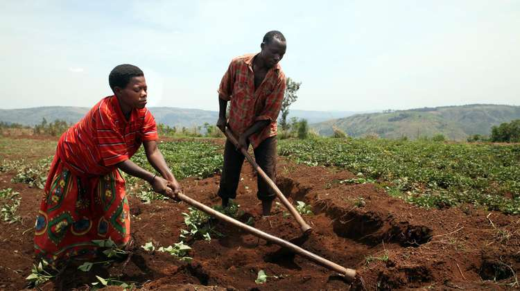 Two smallholder farmers working on their field