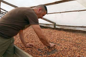 Man processing cocoa beans